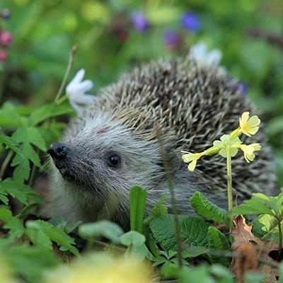 How can gardening help hedgehogs?
