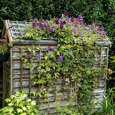 Trellis attached to a shed to support clematis