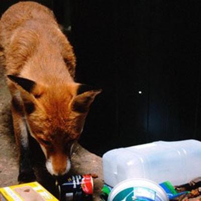 fox raiding a bin
