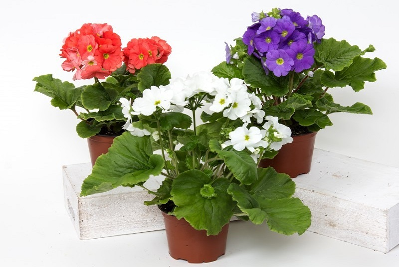 potted primrose flowers on a white background; red, white, and purple in colour