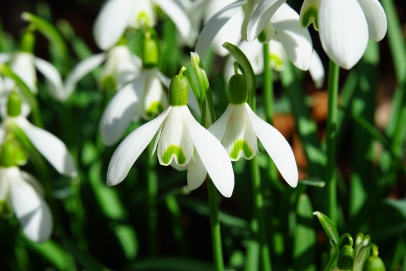 a close up of white snowdrop flowers